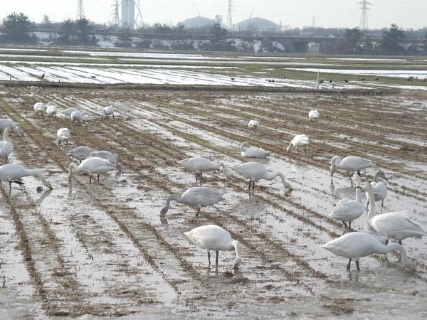 新潟・白鳥のいる田んぼ